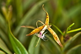 Epi. Criniferum