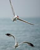 Caspian Tern and thief approaching