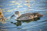 TEAL, BLUE-WINGED