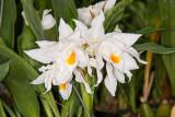 Coelogyne mooreana 'Broekhurst' FCC/RHS