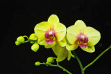 Phal. Chi Yueh Yellow Diamond