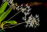Bulb. laxiforum