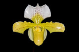 Paph. Acker's Wounderland