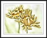 Golden daisies...