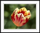 Bright and cheery tulip...