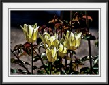 Tulips with a touch of Fractalius...
