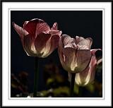 Moody tulips...