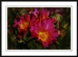 Sunrise roses...