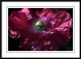 Favorite poppy shots!