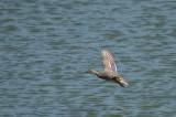 Hen in Flight