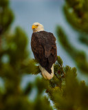 Bald-Eagle-YNP-2015.jpg