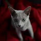 Nemo - The Russian Blue