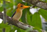 Yellow-Billed-Kingfisher
