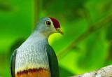 Beautiful Fruit-Dove