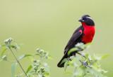White- browed Blackbird