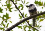 Buff-bellied-Puffbird.