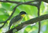 Shrike -like Cotinga