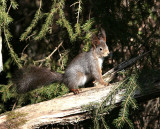Eurasian red squirrel in winter plumage