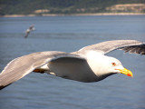 Yellowlegged Gull (Laurus michahellis)Thassos Greece