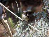 Young Sardinian Warbler (Sylvia melanocephala)Thassos Greece