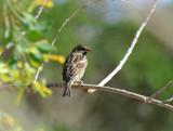 Italian sparrow (Passer italiae)Sicily Italia