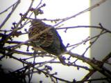 Oriental turtle dove(Streptopelia orientalis)Västergötland