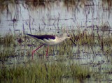 Black-winged stilt(Himantopus himantopus)Uppland