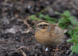 Black-throated accentor(Prunella atrogularis)Öland