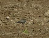 Black-winged pratincole(Glareola nordmanni)Dalarna