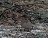 Black-throated thrush (Turdus ruficollis atrogularis)Uppland
