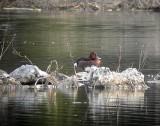 Ferruginous duck(Aythya nyroca)Uppland