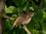 Blyth`s reed warbler (Acrocephalus dumetorum)Dalarna