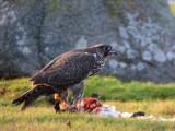 Gyr falcon (Falco rusticolus)Öland