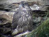 Gyr falcon (Falco rusticolus)Jämtland