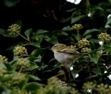 Yellow-browed warbler (Phylloscopus inornatus)Öland