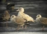 Glaucous gull (Larus hyperboreus)Dalarnag