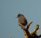 Barred warbler (Sylvia nisoria)Öland