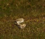 Kentish plover (Charadrius alexandrinus)Öland