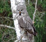 Great grey owl (Strix nebulosa)Dalarna
