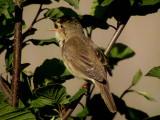 Marsh warbler
