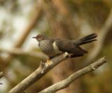 Common cockoo