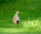 Grey partridge