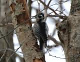 Three-toed woodpecker