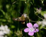 Humlelik dagsvärmare (Hemaris fuciformis)