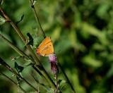 Eldsnabbvinge (Thecla betulae)