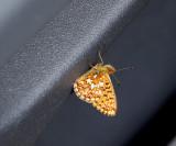 Prydlig pärlemorfjäril (Boloria euphrosyne)