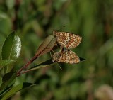 Skogsnätfjäril (Melitaea athalia