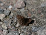 Sotnätfjäril (Melitaea diamina)