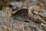 Vitgräsfjäril (Lasiommata maera)