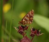 Myrpärlemorfjäril (Boloria aquilonaris)